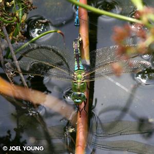 Healthy Emperor Dragonfly